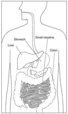 The small intestine is shaded above.