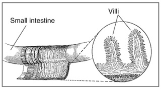 Villi on the lining of the small intestine help absorb nutrients.